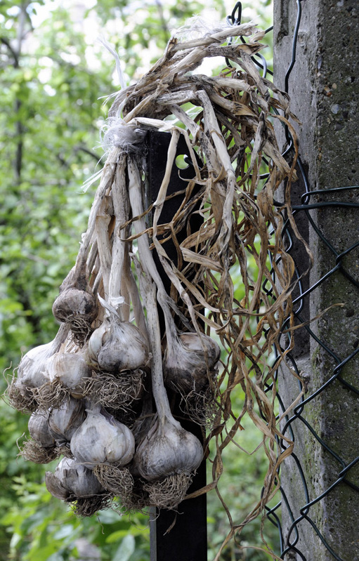 Organically grown garlic