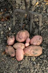 Solanum Sarpo Mira