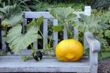 Pumpkin growing through bench