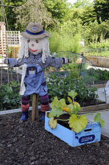 Scarecrow on allotment