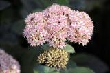 Flowerhead of Sedum 'Matrona'