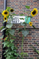 Helianthus annuus Sunflowers