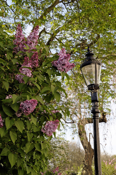 Syringa vulgaris - Common Lilac