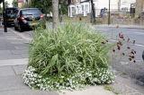 Variegated ornamental grass