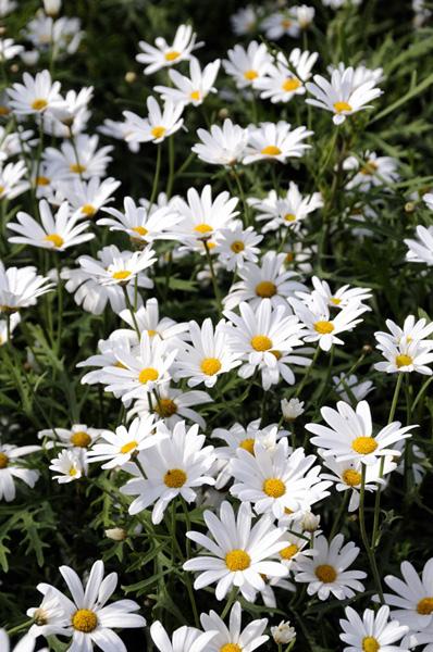 White Marguerite