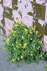 Corydalis lutea - Yellow corydalis