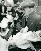 31 Mr Townley plucking a turkey at St. Patricks Christmas Market