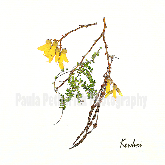 kowhai botanical - Giclée Print on Museum Etching Fine Art Paper