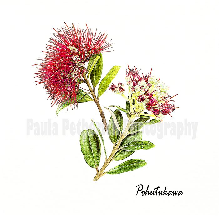 pohutukawa botanical - Giclée Print on Museum Etching Fine Art Paper
