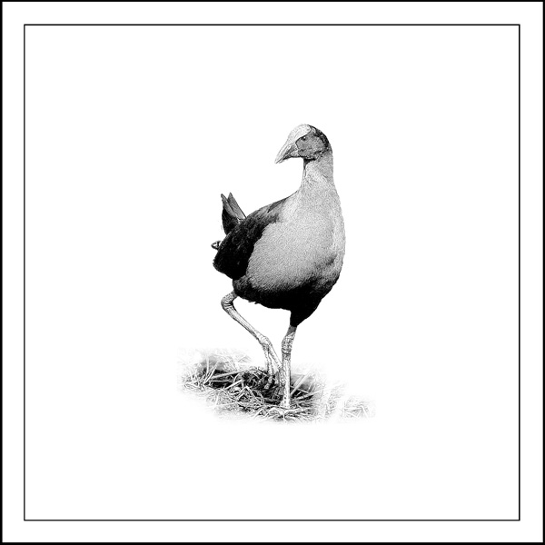pukeko Artifact - Laminated vinyl image mounted on 167mmX167mm Bamboo block