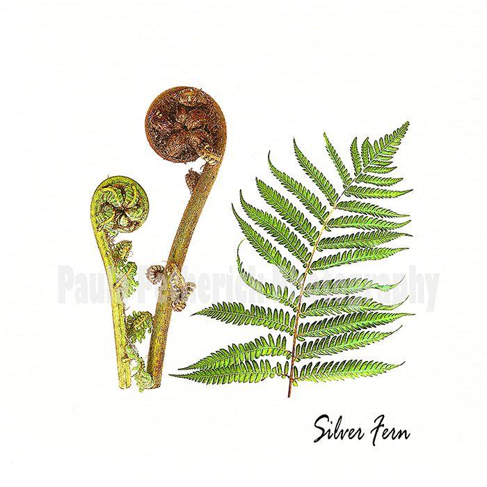 silver fern botanical - Giclée Print on Museum Etching Fine Art Paper