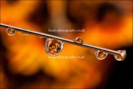 Sunflower droplets
