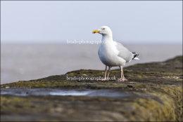 Hinkley Gull