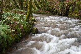 Snowdrop valley on Exmoor