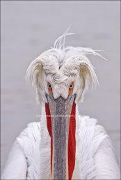 Pelican central