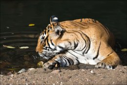 Noor drinking while cooling off in a waterhole
