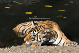 Noor at rest in a waterhole