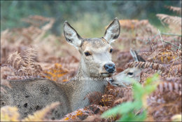 Mum and fawn