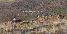 Stag and hinds