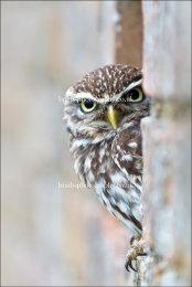 Little Owl in wall