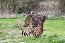 Eagle Owl in flight (wings down)