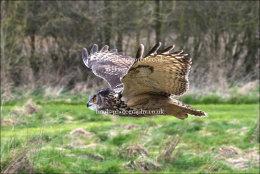 Eagle Owl in flight (wings level)