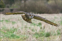 Eagle Owl turning in flight