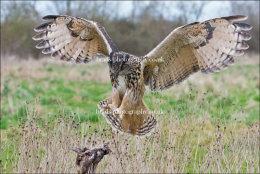 Eagle Owl landing (feet out)