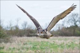 Eagle Owl in flight (wings up)