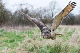 Eagle Owl in flight (low)