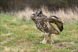 Eagle Owl going for a walk
