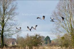 Cranes over Aller Moor
