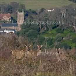 Deer above Dunster