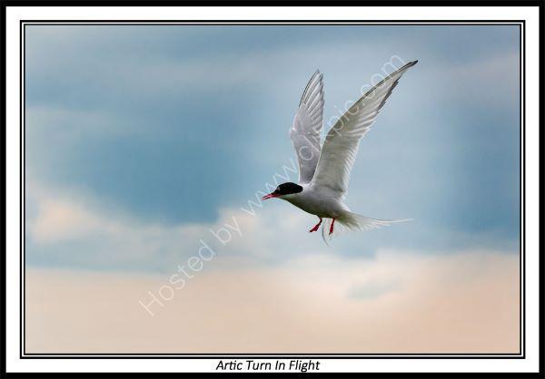 Artic Turn In Flight