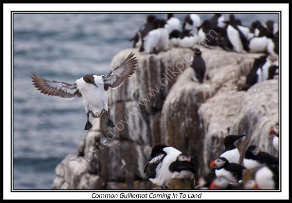 Common Guillemot Coming In To land