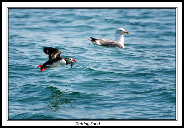 Puffin Getting Food