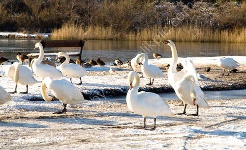 Swans by lake
