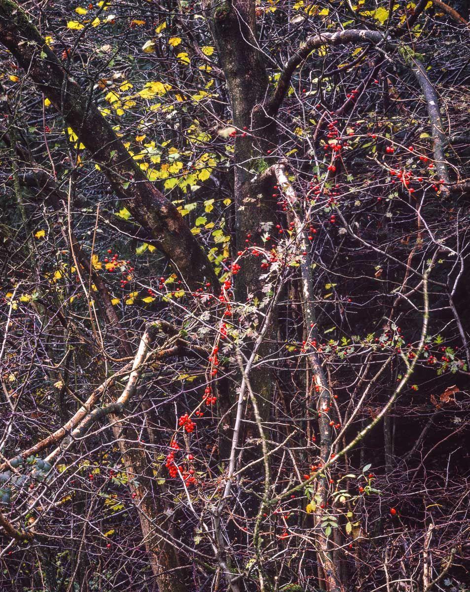 Autumn Woodland, Latterbarrow, Cumbria, 2001