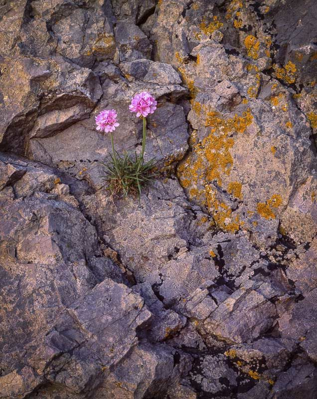 L24 Sea Thrift, Arnside Point, Cumbria