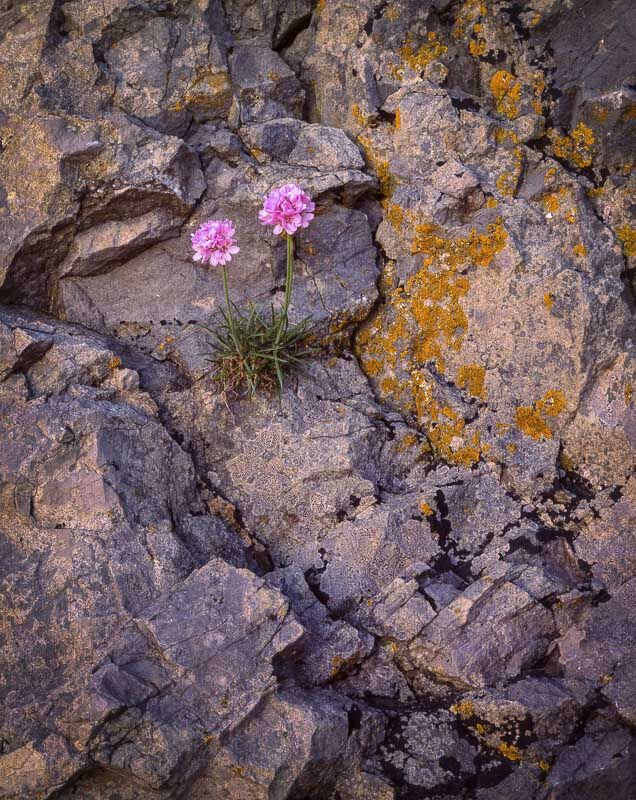 Sea Thrift, Arnside Point, Cumbria, 2001
