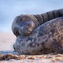 Grey Seal Love