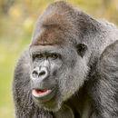 Silver-Backed Gorilla