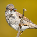 Whitethroat with Prey