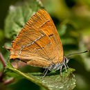 Brown Hairstreak