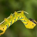 Deaths Head Hawk Moth Caterpillar