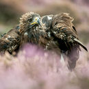 Golden Eagle in Heather