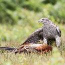 Goshawk with Pheasant