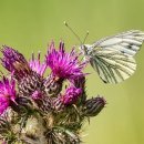 Green-Veined White (Scottish Sub-Species)