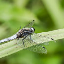 Male Scarce Chaser