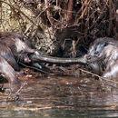 Otters & Eel